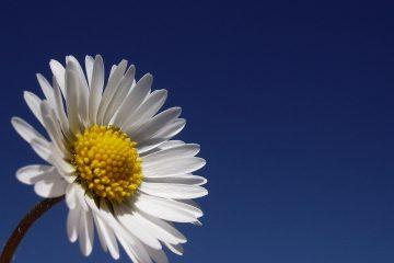 schönes Bild einer Margarite vor azur-blauen Himmel